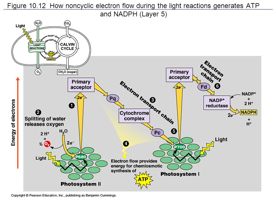 Figure 10.12 How noncyclic electron flow during the light reactions generates ATP and NADPH (Layer 5)