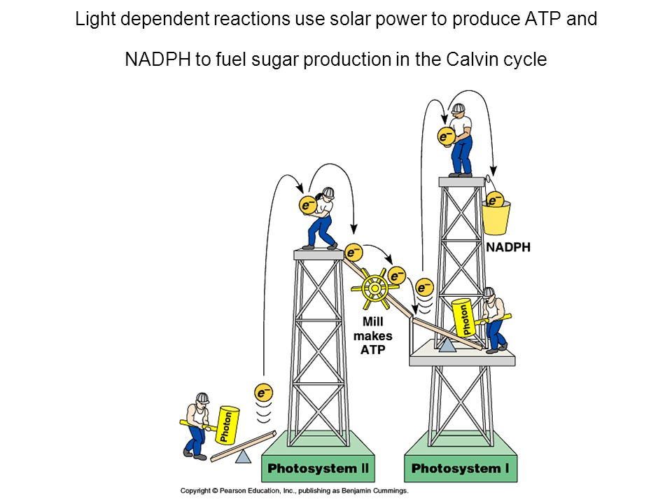 Light dependent reactions use solar power to produce ATP and NADPH to fuel sugar production in the Calvin cycle