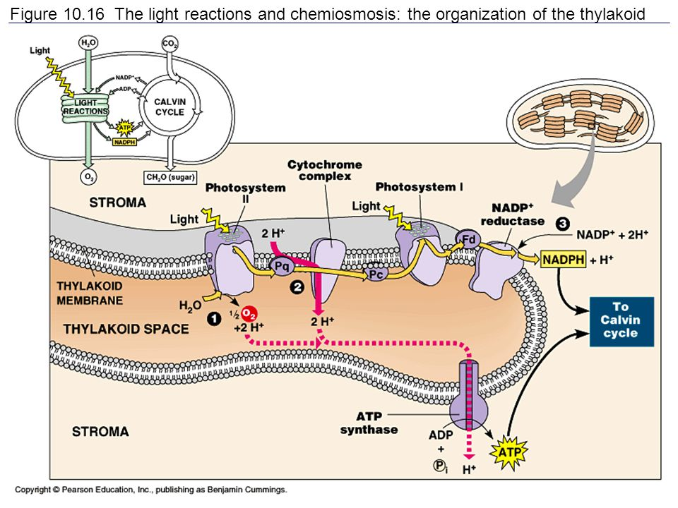 Figure 10.16 The light reactions and chemiosmosis: the organization of the thylakoid membrane