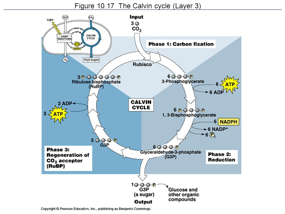 Figure 10.17 The Calvin cycle (Layer 3)