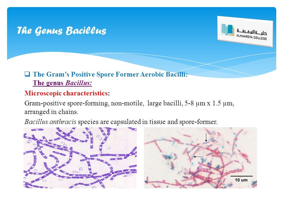 The Genus Bacillus The Gram's Positive Spore Former Aerobic Bacilli: The genus Bacillus: Microscopic characteristics: