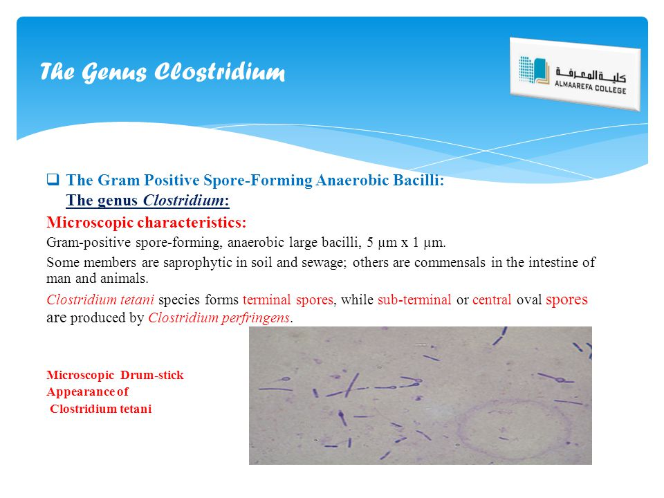 The Genus Clostridium The Gram Positive Spore-Forming Anaerobic Bacilli: The genus Clostridium: Microscopic characteristics: