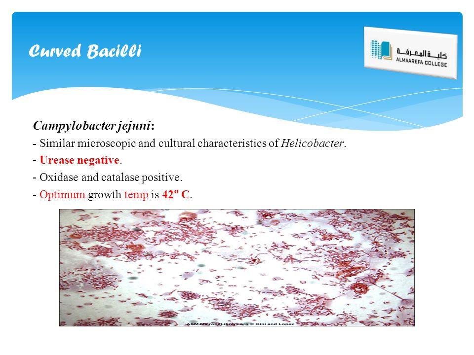Curved Bacilli Campylobacter jejuni: