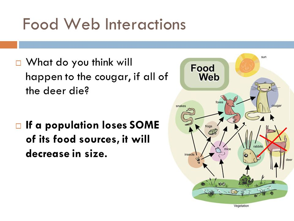 Food Web Interactions What do you think will happen to the cougar, if all of the deer die