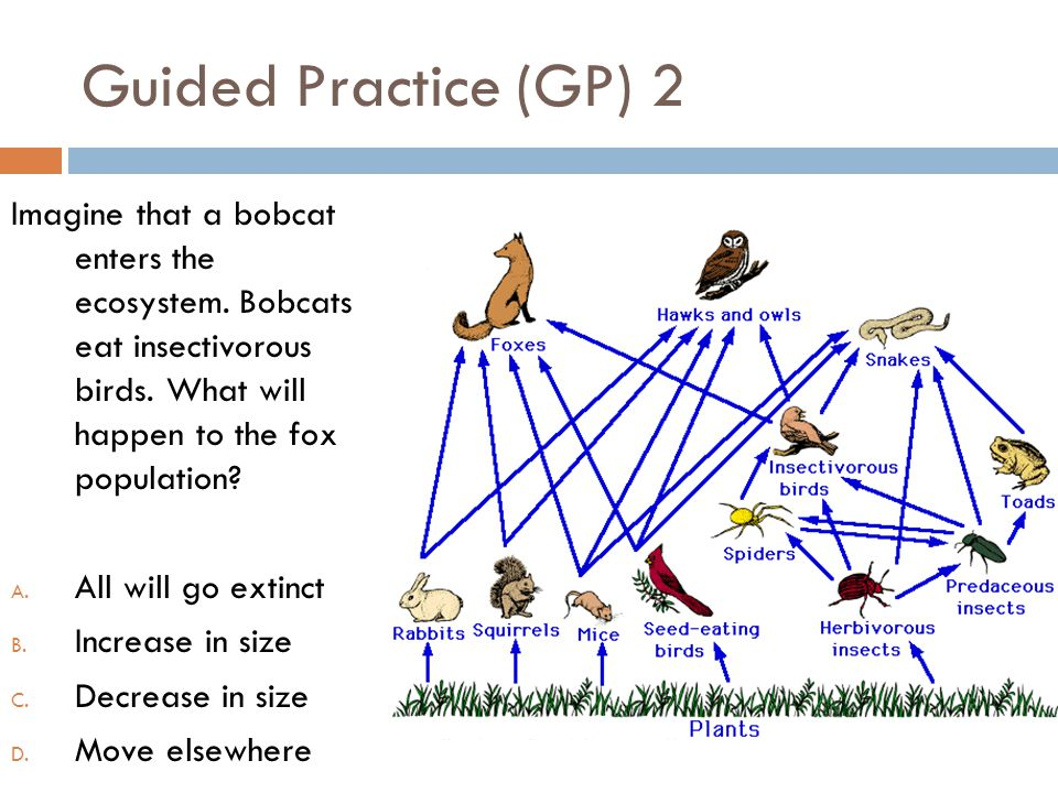 Guided Practice (GP) 2 Imagine that a bobcat enters the ecosystem. Bobcats eat insectivorous birds. What will happen to the fox population
