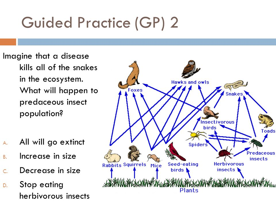 Guided Practice (GP) 2 Imagine that a disease kills all of the snakes in the ecosystem. What will happen to predaceous insect population