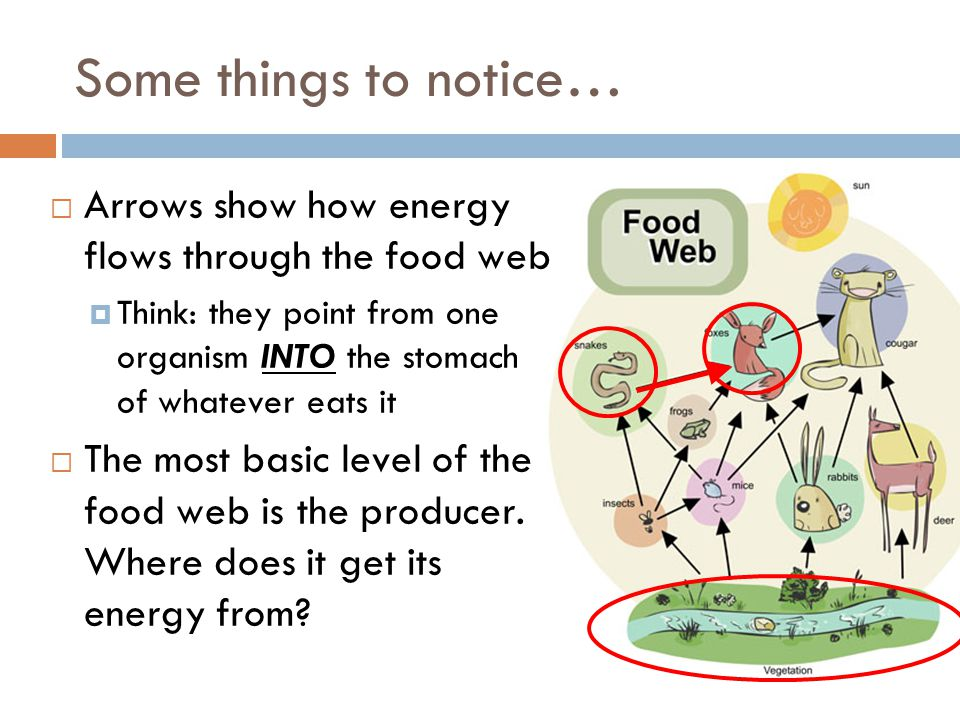 Some things to notice… Arrows show how energy flows through the food web.