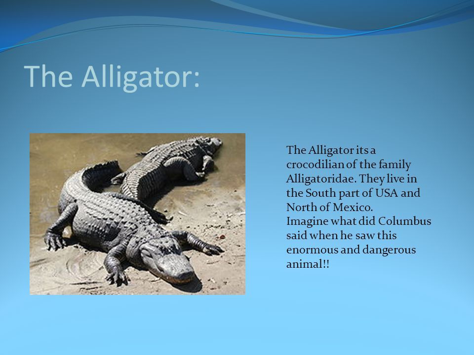 The Alligator: The Alligator its a crocodilian of the family Alligatoridae. They live in the South part of USA and North of Mexico.