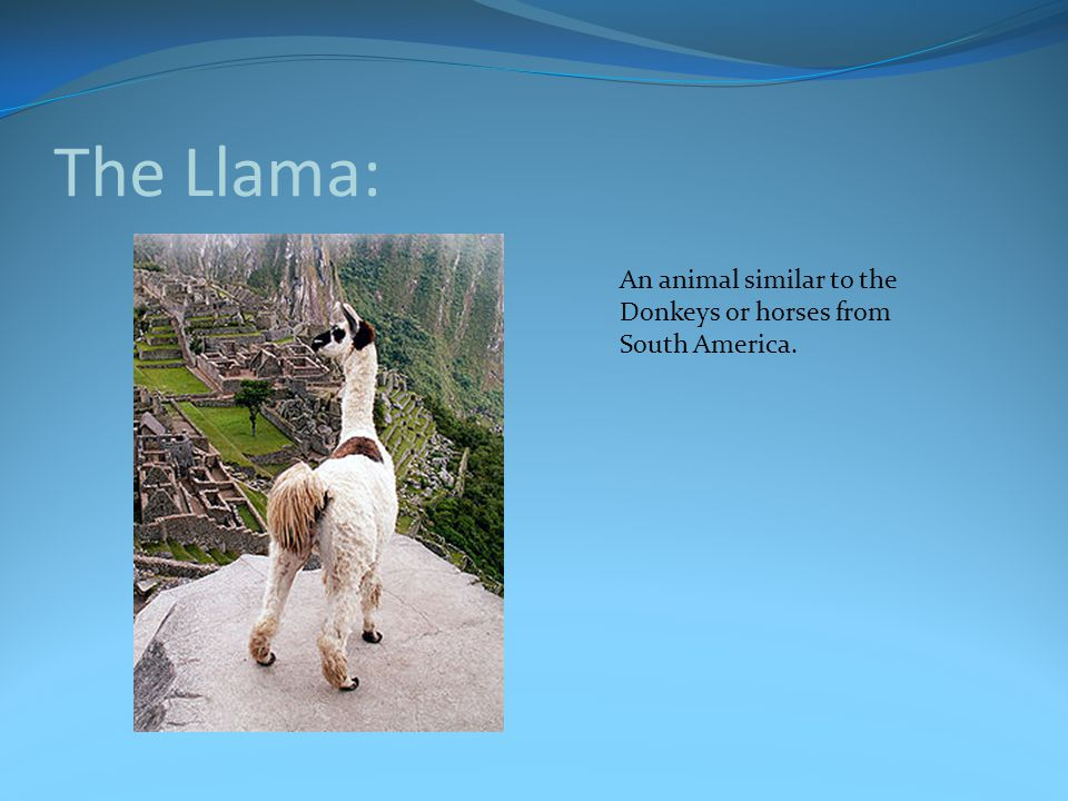 The Llama: An animal similar to the Donkeys or horses from South America.