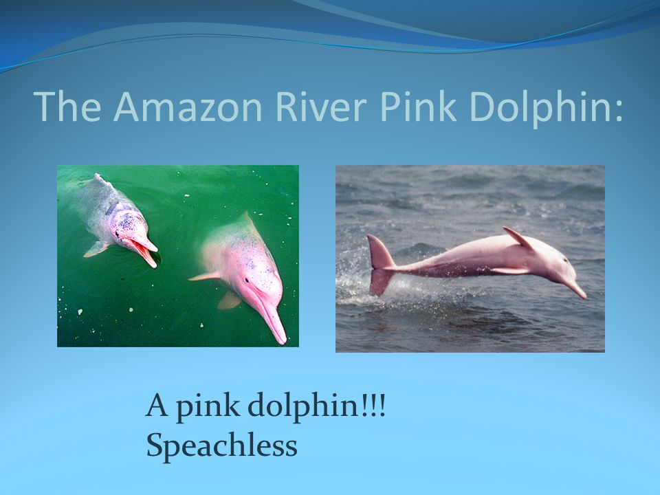 The Amazon River Pink Dolphin: