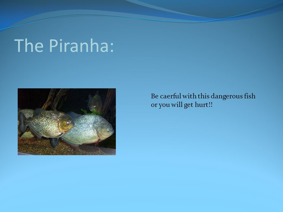 The Piranha: Be caerful with this dangerous fish or you will get hurt!!