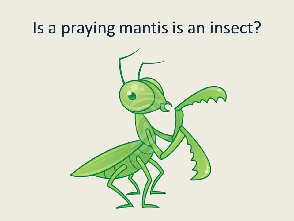 Is a praying mantis is an insect