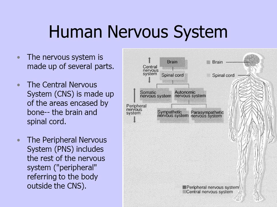 Human Nervous System The nervous system is made up of several parts.