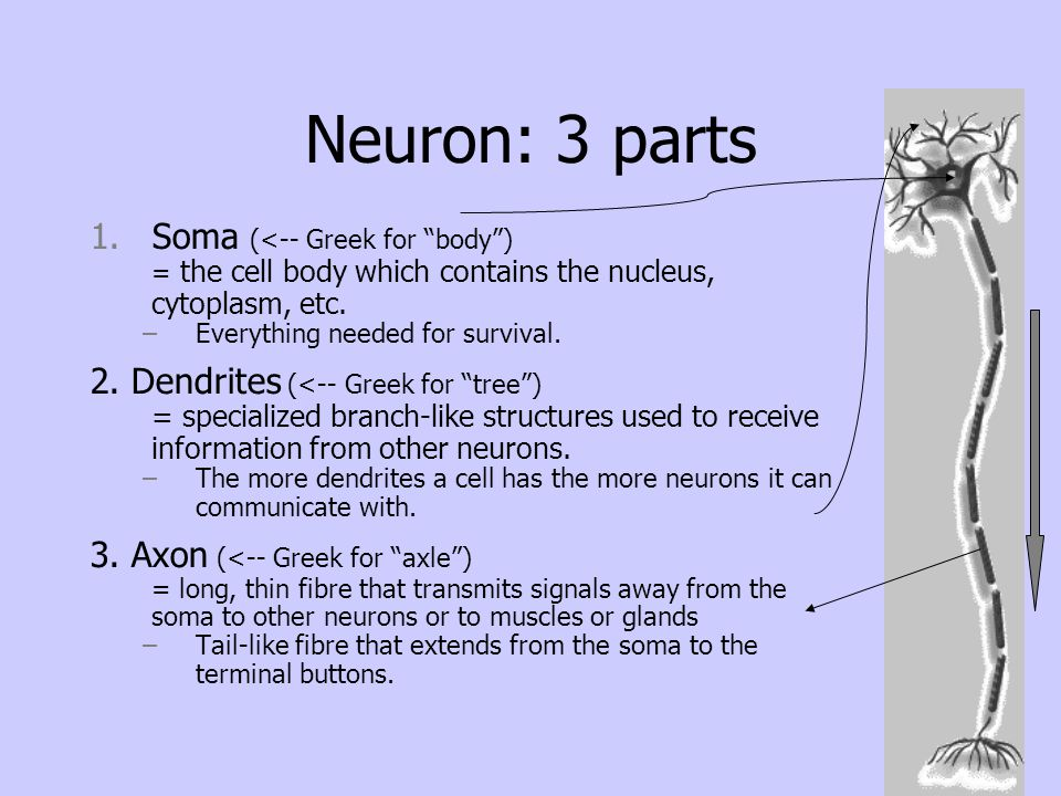 Neuron: 3 parts Soma (<-- Greek for body )