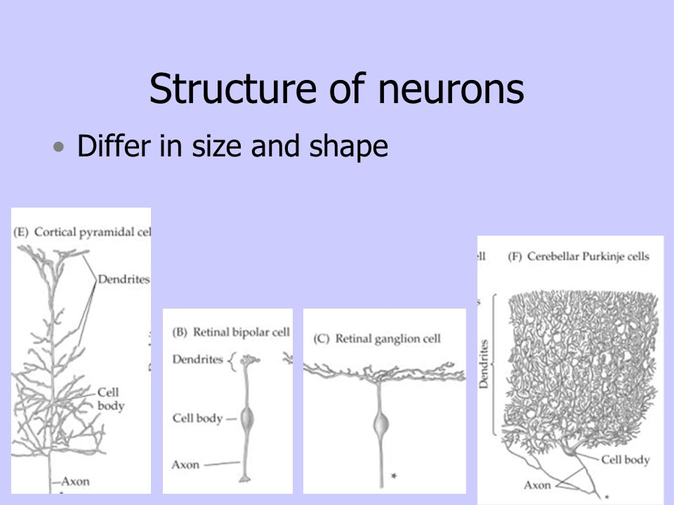 Structure of neurons Differ in size and shape