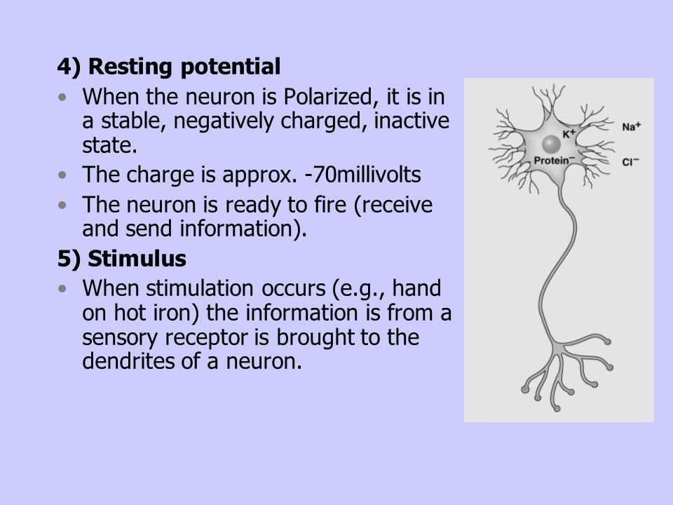 4) Resting potential When the neuron is Polarized, it is in a stable, negatively charged, inactive state.