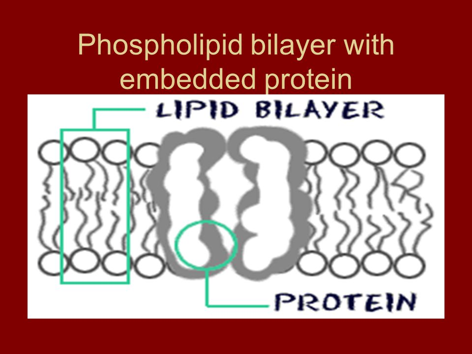 Phospholipid bilayer with embedded protein
