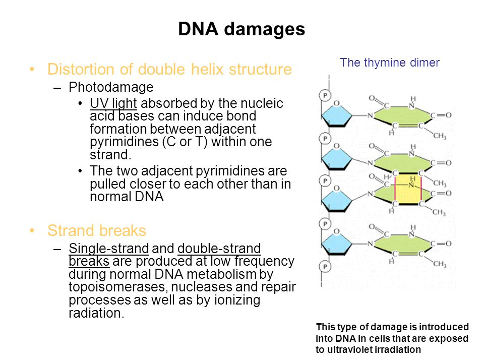 DNA damages Distortion of double helix structure Strand breaks