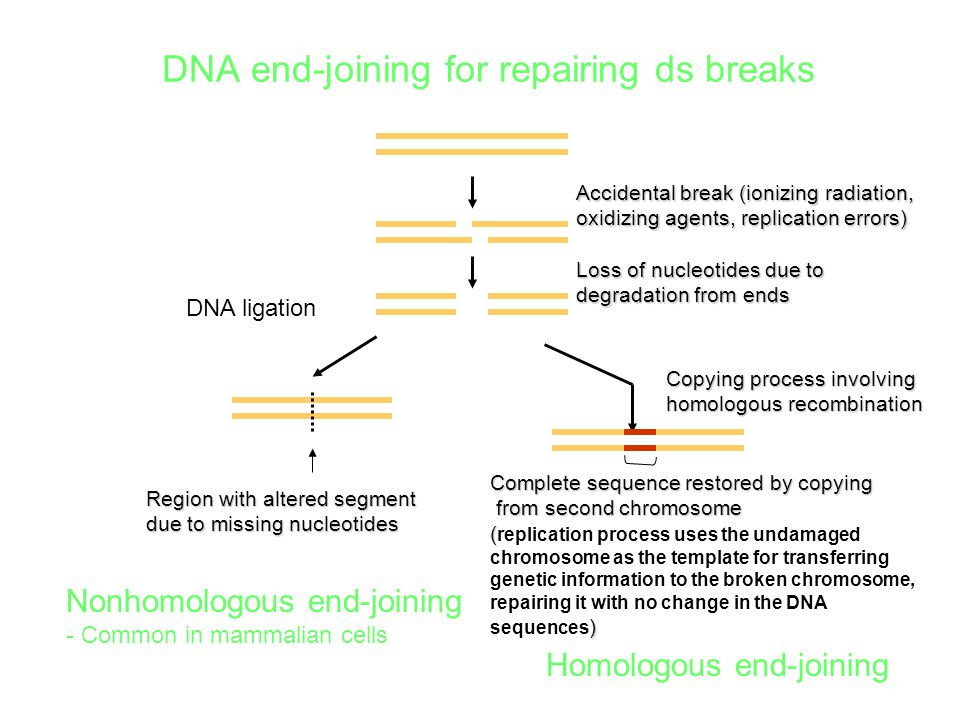 DNA end-joining for repairing ds breaks