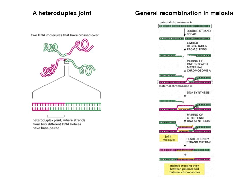 General recombination in meiosis