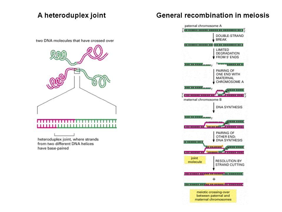 General recombination in meiosis
