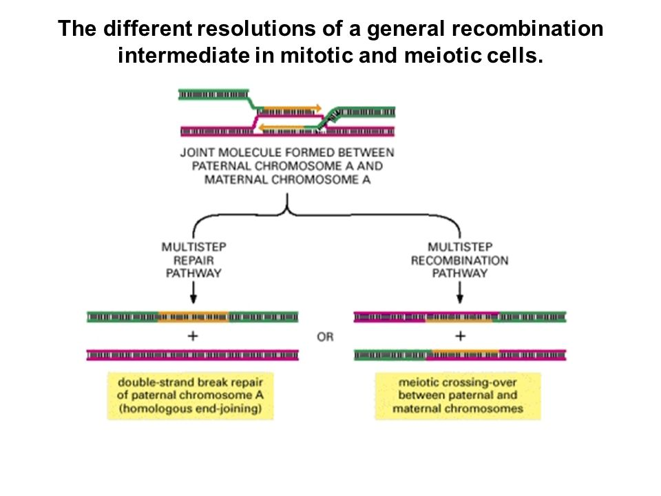 The different resolutions of a general recombination intermediate in mitotic and meiotic cells.