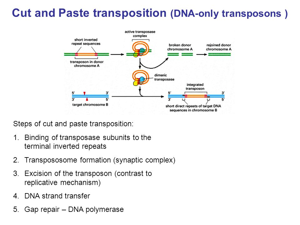 Cut and Paste transposition (DNA-only transposons )