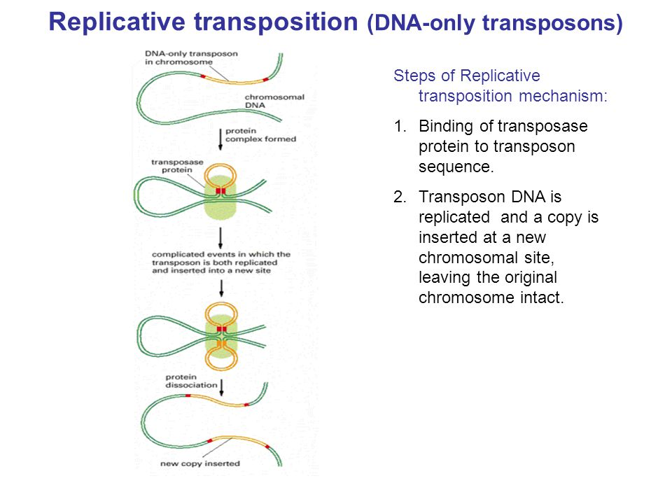 Replicative transposition (DNA-only transposons)
