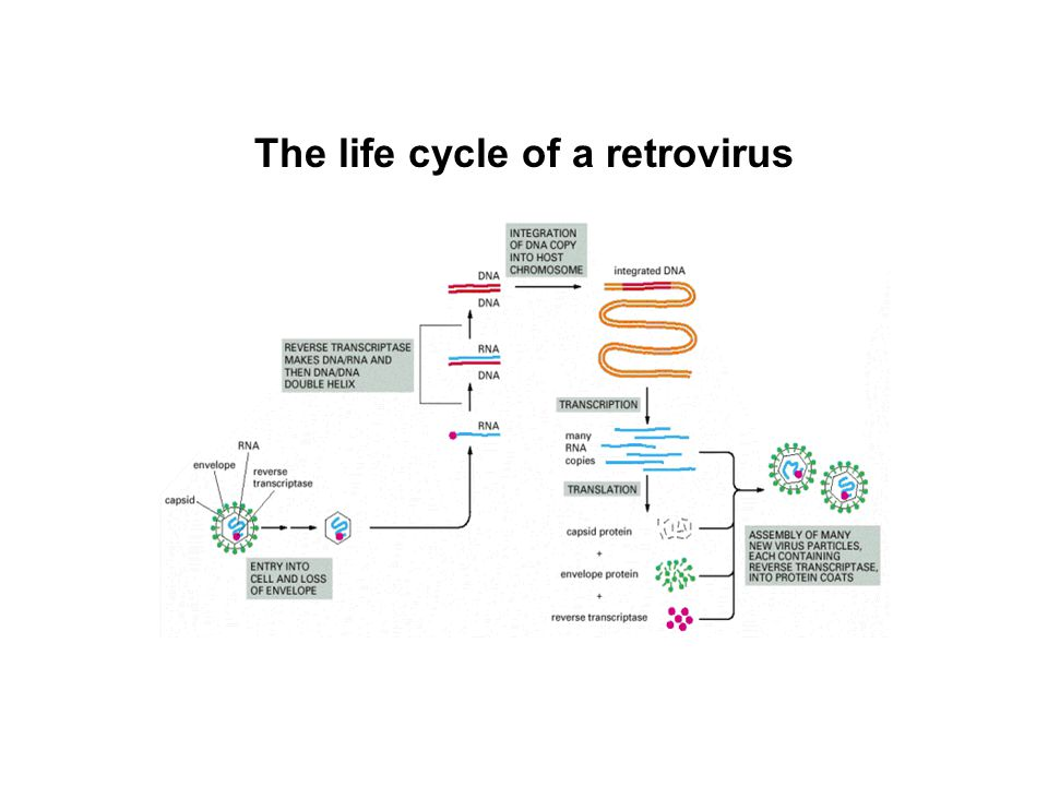 The life cycle of a retrovirus