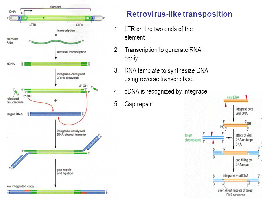 Retrovirus-like transposition
