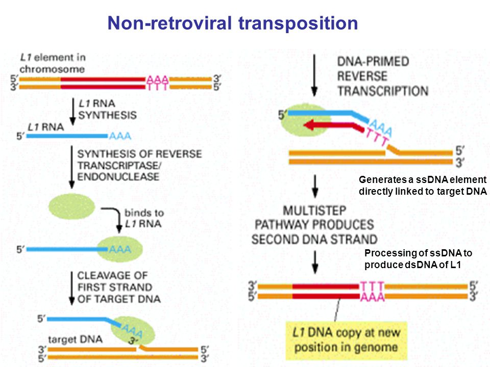 Non-retroviral transposition