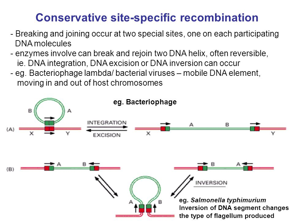 Conservative site-specific recombination