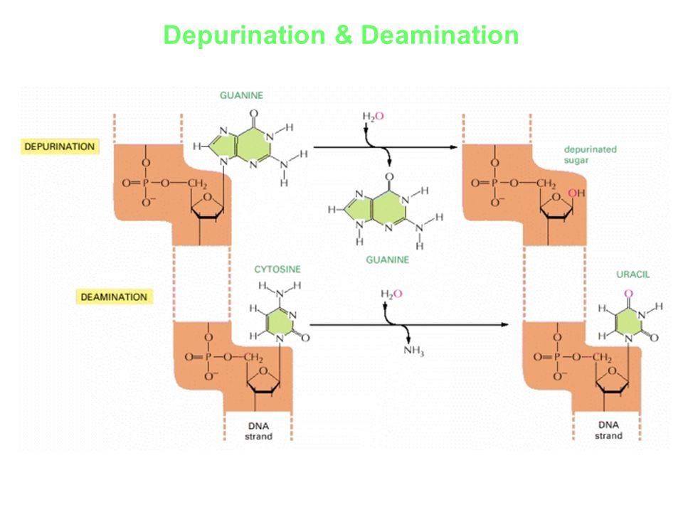 Depurination & Deamination