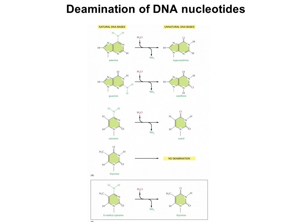 Deamination of DNA nucleotides