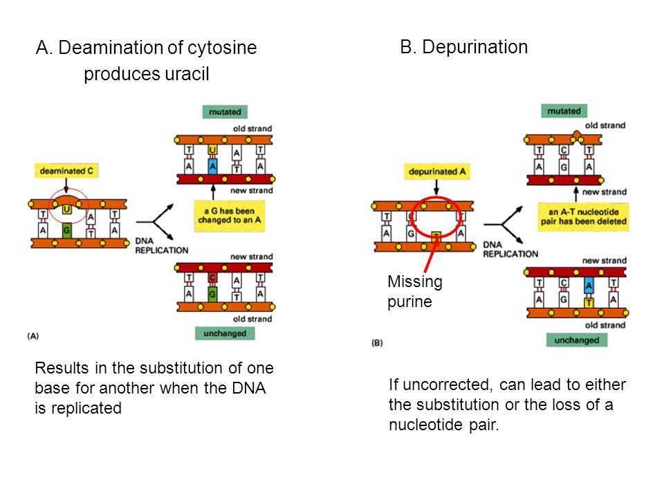A. Deamination of cytosine