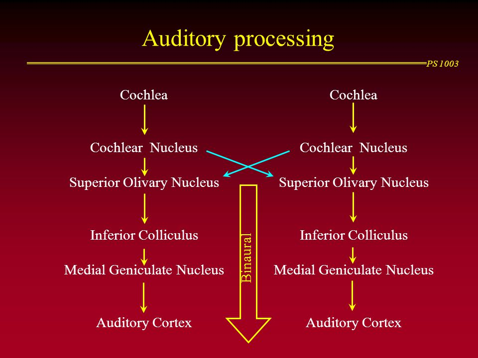 Auditory processing Cochlea Cochlear Nucleus Superior Olivary Nucleus
