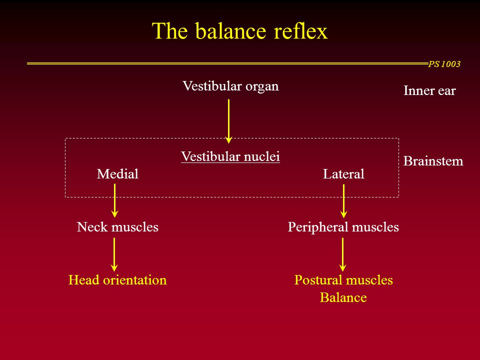 The balance reflex Vestibular organ Inner ear Vestibular nuclei