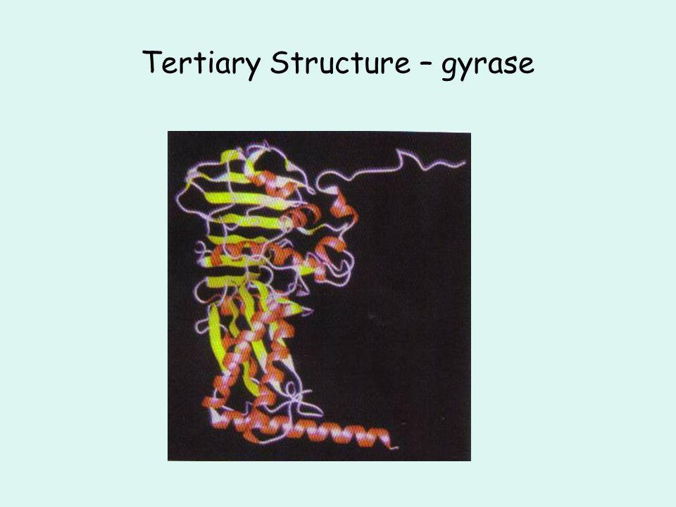 Tertiary Structure – gyrase