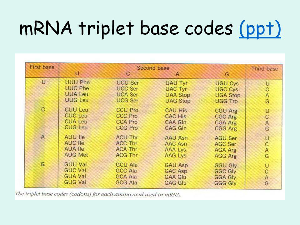 mRNA triplet base codes (ppt)