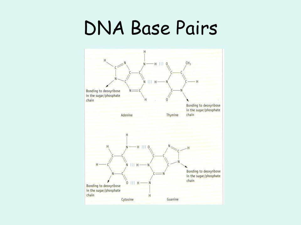 DNA Base Pairs