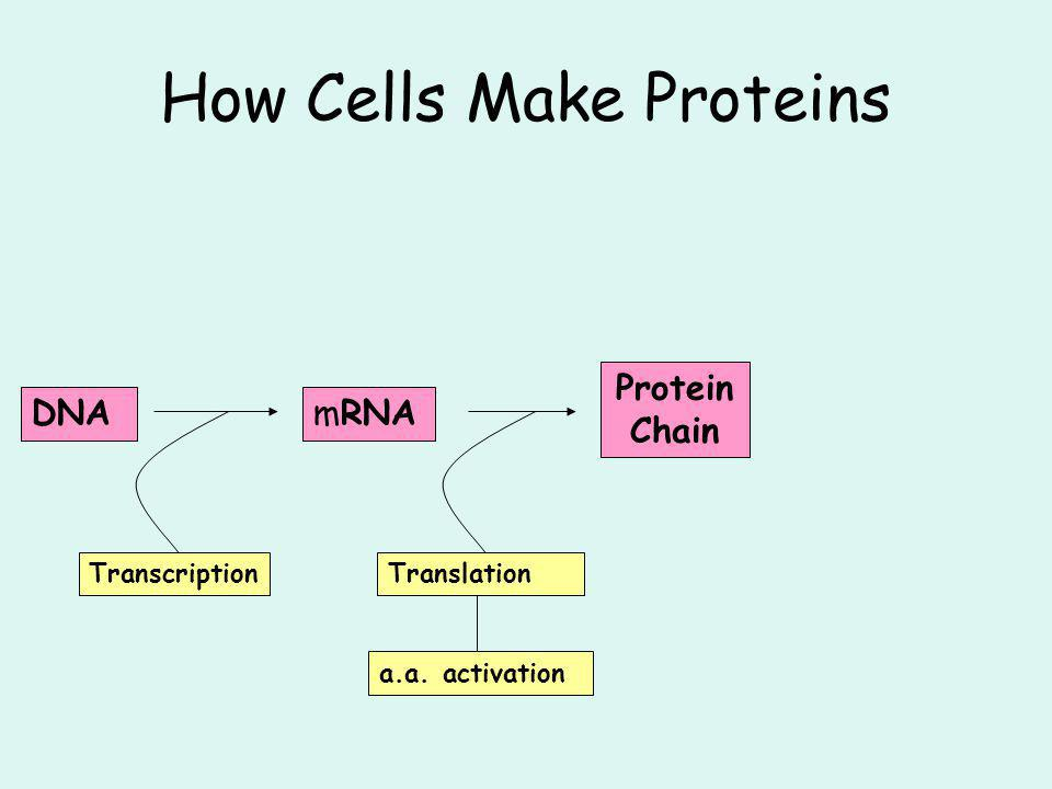 How Cells Make Proteins