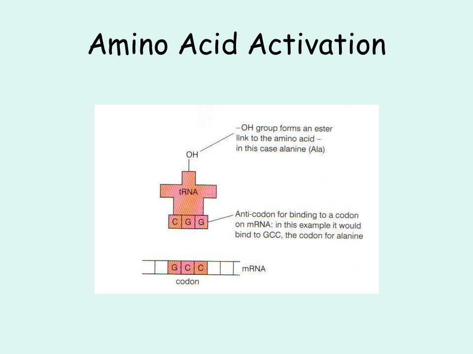 Amino Acid Activation
