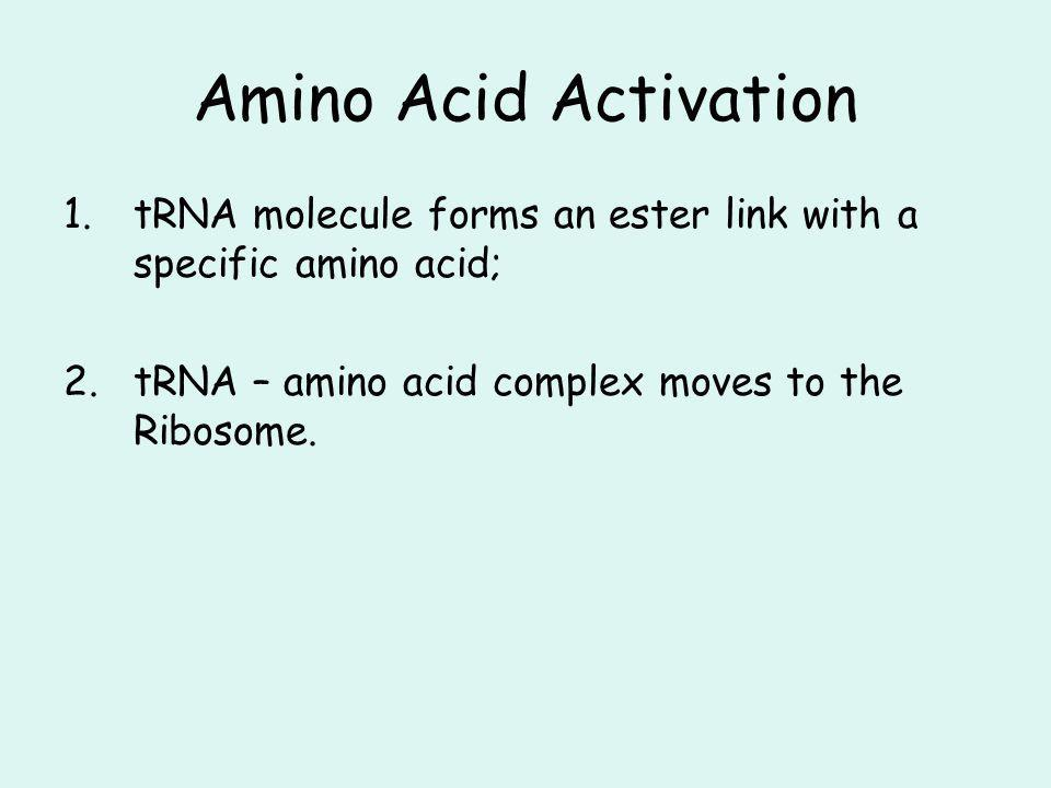 Amino Acid Activation tRNA molecule forms an ester link with a specific amino acid; tRNA – amino acid complex moves to the Ribosome.