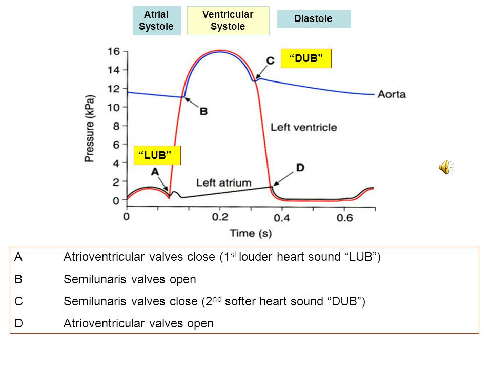 A Atrioventricular valves close (1st louder heart sound LUB )