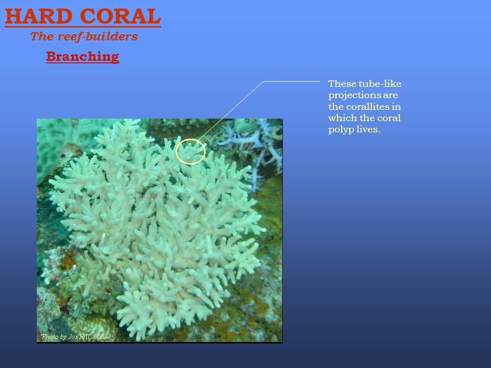 HARD CORAL Branching The reef-builders