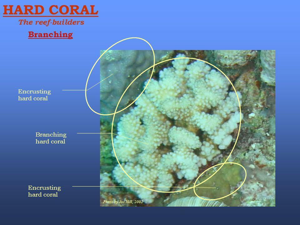 HARD CORAL Branching The reef-builders Encrusting hard coral