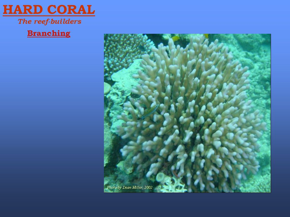 Branching HARD CORAL The reef-builders
