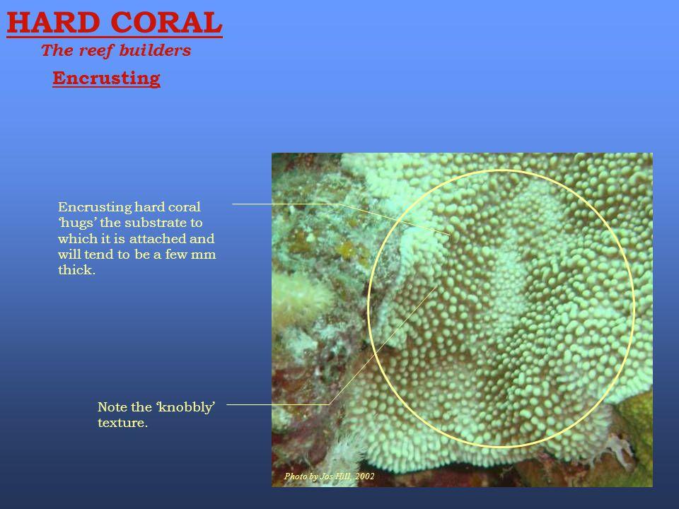 HARD CORAL Encrusting The reef builders