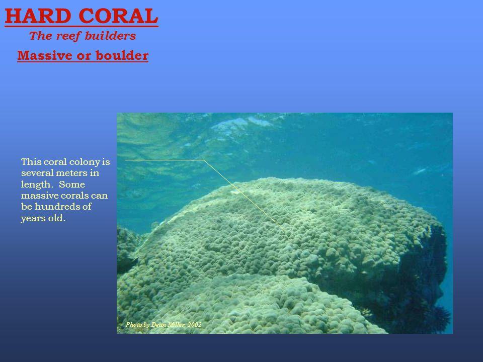 HARD CORAL Massive or boulder The reef builders