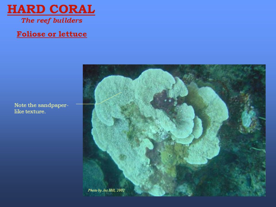 HARD CORAL Foliose or lettuce The reef builders